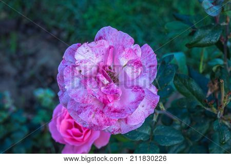Early morning beautiful rose flower garden, dew on roses with awesome colors and verify with closer look, around fifty of verity of roses in this garden in New Delhi, India