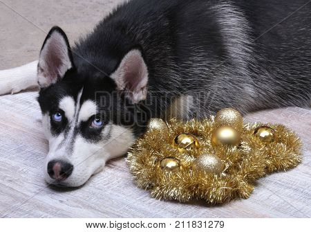 Siberian husky dog near the gift box, colorful balls and Christmas tree