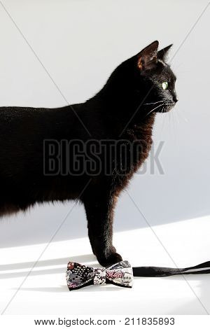 Vertical composition: Extravagant bow tie and black cat with green eyes on a white background.
