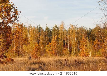View of forrest of birch and orange pine trees .Birch grove on the border with Belarus and Russia. Located in Ukraine, Sumy region, Polissya