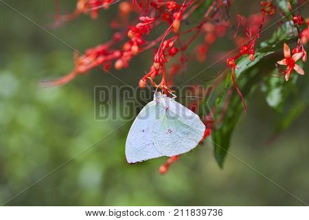 Large Tree Nymphs butterfly and flowera beautiful butterfly on the red flower in gardenPaper Kite butterflyRice Paper butterfly