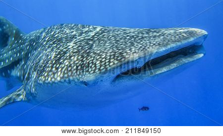 wwhale shark, fish pilot, near the water surface hale shark, fish pilot, near the water surface