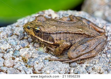 Pacific Chorus Tree Frog of the Pacific Northwest Closeup Macro