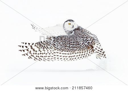 Snowy owl (Bubo scandiacus) hunting over a snow covered field poster