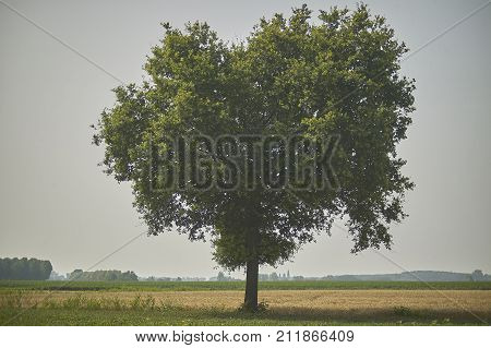 The Big Tree In The Countryside