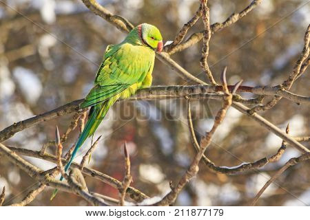 exotic bird in frosty day, parrot fugitive , wildlife, winter survival, cold and frost