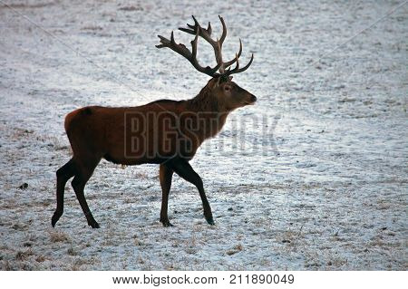 HART goes on winter field. European red deer coming out at dusk to a feeding site.