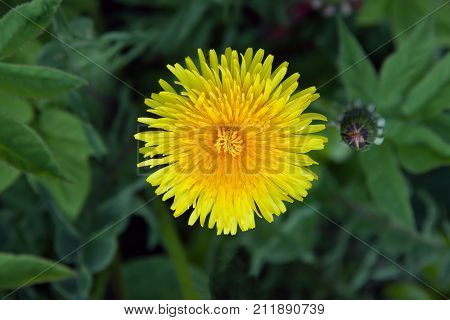 Flower dandelion on background green grass; Dandelion common (Taráxacum officinále) is a species of the genus Taraxacum of the family Asteraceae; leaves peduncle perennial weed plant