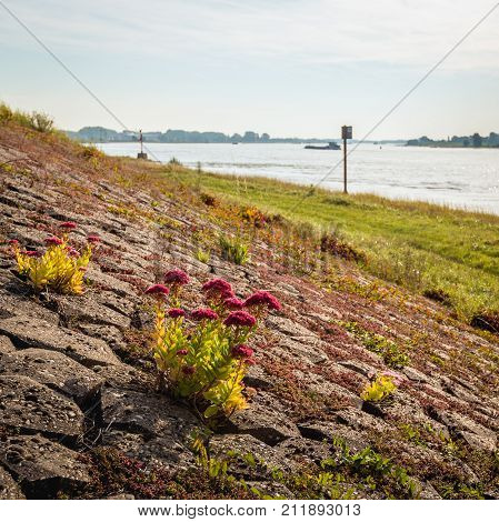 Closeup of red blooming orpine flower on the of a Dutch dike next to the river on the early morning of a sunny day in the late summer season.