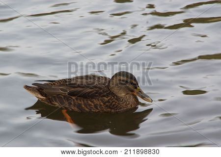 A duck which swims only in the lake of the Pond of the mute. He (it) is situated in a French city to Elancourt. In front of the duck, we perceive green branches. It is in the day and there is nobody.