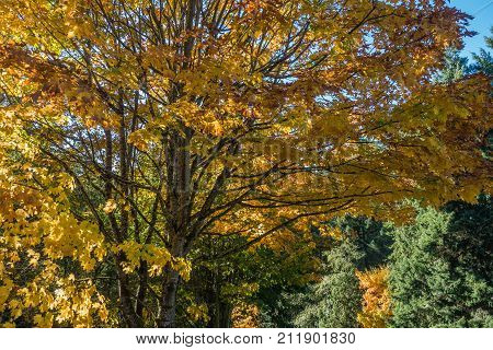 Brilliant Autumn leaves are on display in the Pacific Northwest.