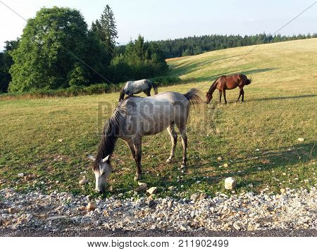 Horses in a meadow.Horse on summer pasture.Horse pasture in the meadow