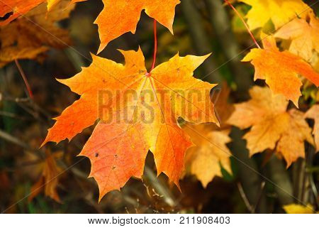 Single colorful yellow and orange maple tree leaf closeup