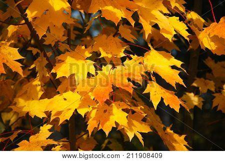 Bunch of beautiful fall season colored maple tree leaves