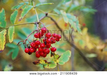 Beautiful red ripe rowan berries on a twig with a background of fall season colors