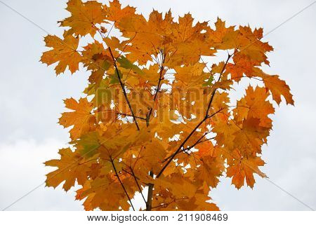 Colorful maple tree branch by a white background