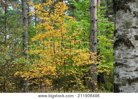 Golden fall colored leaves in an autumnal forest