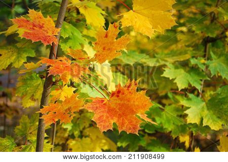 Beautiful colored maple leaves in green yellow and reddish colors