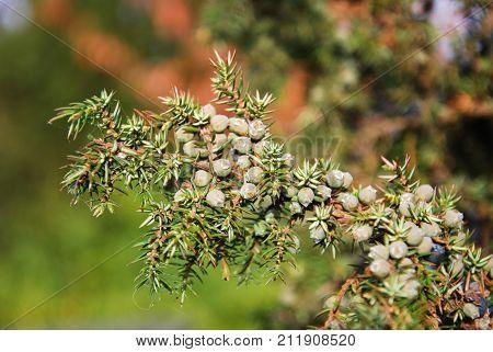 Growing green juniper berries on a sunlit twig