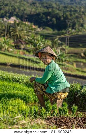 Bali, Indonesia - August 9, 2016: Balinese farmer working on rice field in Bali, Indonesia.