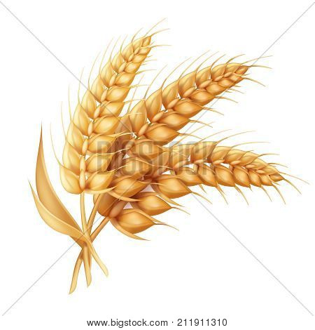 Barley ear with leaves realistic isolated. Wheat vector icon.