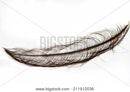 Black ostrich feather isolated on white background
