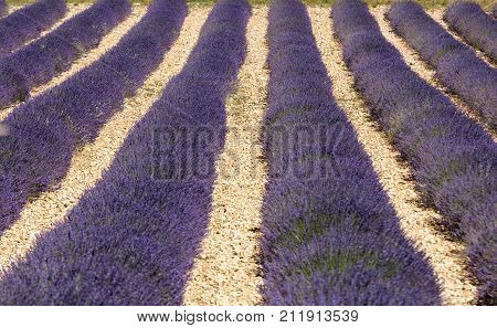 Lavender field in Provence near Sault France