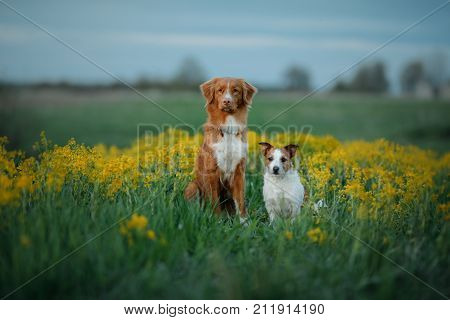 Nova Scotia duck tolling Retriever and Jack Russell Terrier sitting on flower field