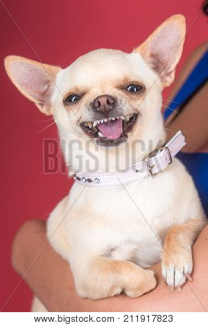 Pet companion friend friendship. Puppy face with happy smile on red background. Protection alertness bravery. Devotion and constancy concept. Chihuahua dog smiling in female hands.