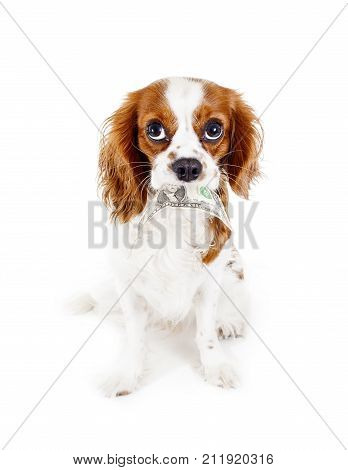Dog with money. Cavalier king charles spaniel hold carry dollar bill to illustrate dog costs. Cute trained dog in white studio background.