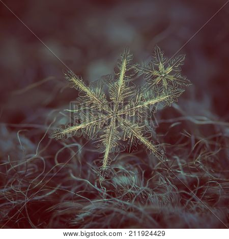 Snowflakes at high magnification: macro photo of real snow crystals - two stellar dendrites in flat cluster with complex, ornate shapes and elegant arms. Snowflakes glittering on dark background.