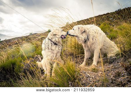Two dogs kissing in the mountains in France