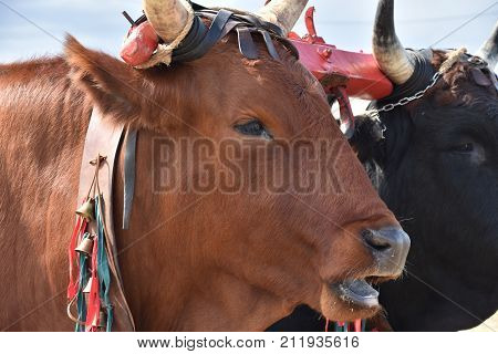 Italian red  cow in the rural farm, yoke of oxen in organic farming