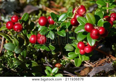 Cowberry shrub with red berries and green leaves