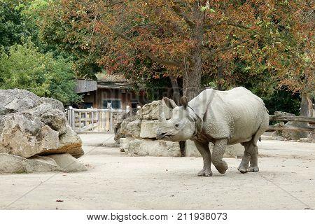 One rhinoceros in the zoo walks under a tree in autumn