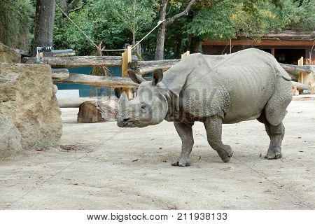 One rhinoceros in the zoo runs to the brush.