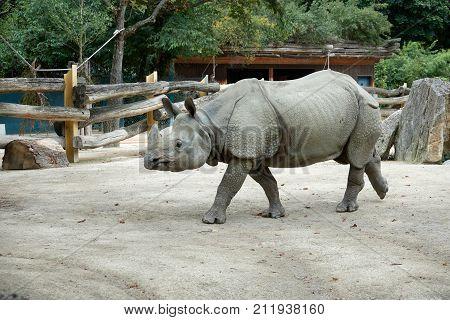 One young rhino walks the zoo in the autumn