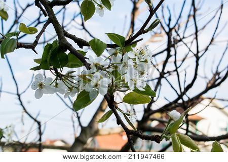 Flowering branch of pear. blooming spring garden. Flowers pear close-up. Blurred background. Pear blossom in early spring