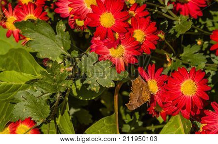 The Comma Butterfly On A Red Flower