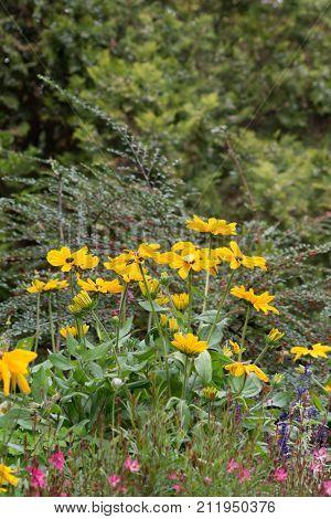 The orange coneflowe (Rudbeckia fulgida) is the favorite flower of the parks.