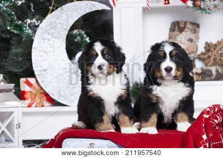 Christmas puppies Bernese Mountain Dog