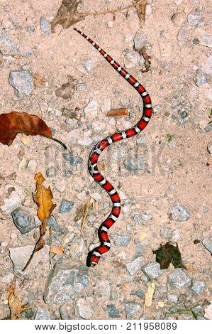 Red Milk Snake (Lampropeltis triangulum syspila) slithering across ground in southern Illinois