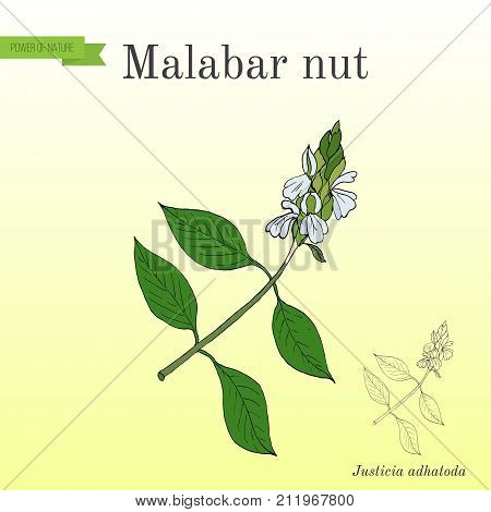 Malabar nut Justicia adhatoda , or adulsa, adhatoda, vasa, or vasaka, medicinal plant. Hand drawn botanical vector illustration