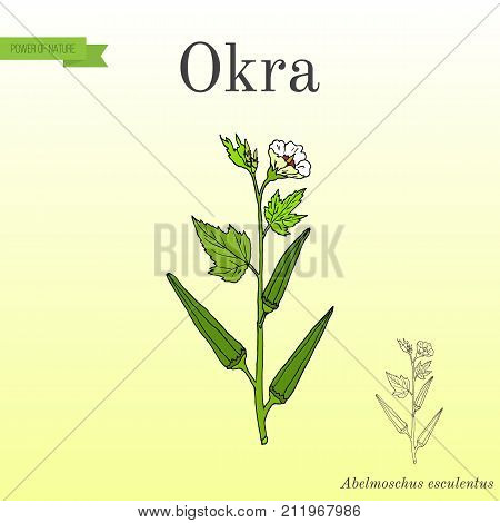 Okra Abelmoschus esculentus , or Lady Finger, or gumbo, food plant. Hand drawn botanical vector illustration