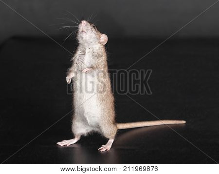 portrait of a standing domestic brown rat