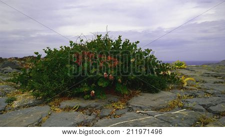 Green Bush with red flowers growing on rocky soil