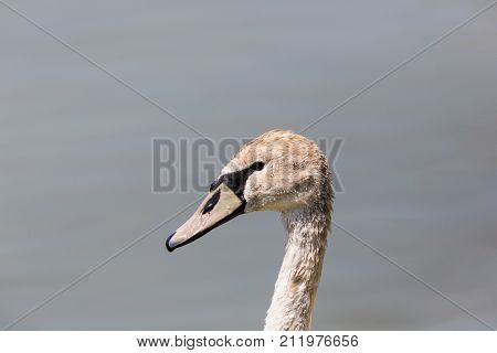 Side View Portrait Of Mute Swan (cygnus Olor)