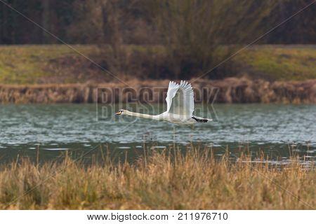 Mute Swan (cygnus Olor) In Flight, Water, Reed Belt
