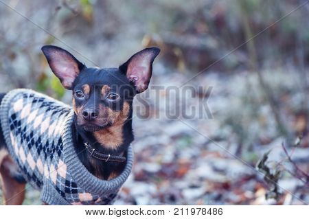 dog a toy terrier a stylishly dressed little dog sweater against the backdrop of late autumn. Clothes for dogs. Space for text
