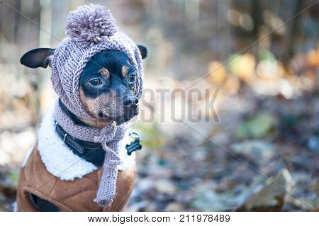 A dog a toy terrier a stylishly dressed little dog in a hat and a sheepskin coat against the backdrop of late autumn. Clothes for dogs. Place for text